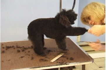 toy poodle- dog grooming courses