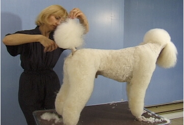 standard poodle pet grooming course