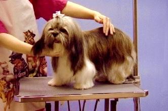 dog grooming school-shih tzu