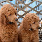 dog grooming school, poodle